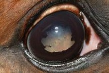 Horses with Recurrent Uveitis (ERU)